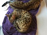 2 adult bengals need rehoming